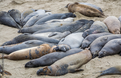 Slika na platnu male elephant seals at a meeting place, beach of San Simeon