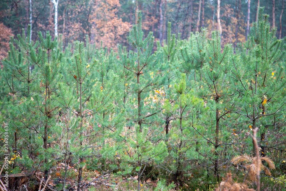 Fototapeta młody las sosnowy choinki