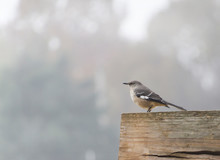 Northern Mockingbird Perched On A Rustic Wooden Fence