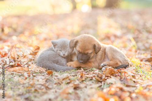 Fototapeta Tiny kitten and mongrel puppy sleep together on autumn leaves at sunset obraz na płótnie