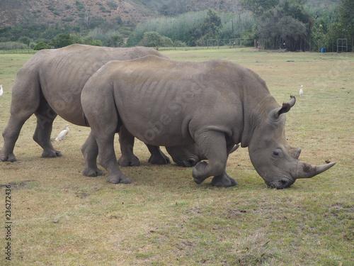 Poster Rhino OLYMPUS DIGITAL CAMERA