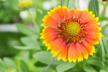 Gaillardia Arizona Sun Flower Is Blooming,yellow Pollen,colorful Background,cosmos