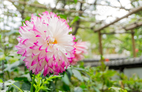 White dahlia flower has yellow pollen and pinkl lobe blooming at dahlia Japan garden park in autumn winter,beautiful isolated background