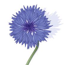 La Fleur Bleuet Et Sa Tige En Gros Plan, Symbole Des Poilus De La Guerre Quatorze.