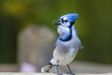 Blue Jay In Autumn
