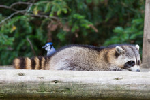Raccoons In Autumn