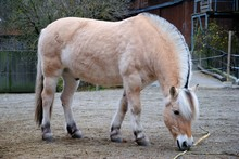 The Fjord Horse Or Norwegian F...