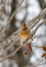 Green Cardinal On Tree Branch
