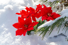Winter Holiday Decoration Concept: Blooming Holiday Red Poinsettia And Frozen Snow Covered Pine Tree Twigs In Forest Preserve Park.