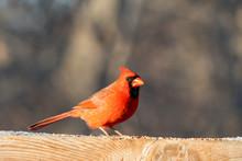 Cardinal On Rail