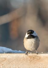 Grumpy Black-capped Chickadee
