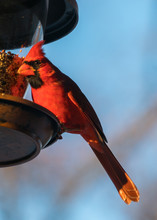 Cardinal Bird On Feeder