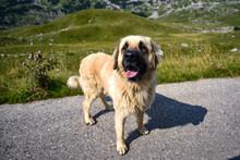 Shepherd Dog In The Durmitor Mountains In Montenegro.