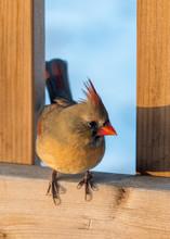Female Cardinal Bird On Railing
