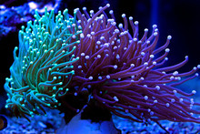 Euphyllia Torch Colorful LPS C...
