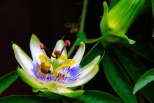 Passion Flower Blooming In Tropical Garden. Passiflora Blossoming Outdoors