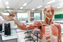 Human Anatomy And Physiology M...