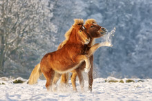 Two Icelandic Horses, A Foal A...