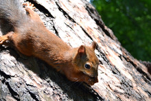 Little Red Squirrel Sitting On...