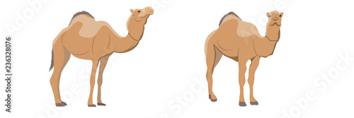 Collection of one-humped camels. Animals of Africa and Australia. Realistic vector object