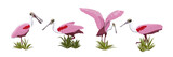 Roseate spoonbill bird collection. Animals of Florida, Chile and Argentina. Everglades national park. Rainforest Bird Vector Object - 236328809