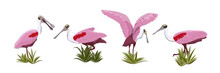 Roseate Spoonbill Bird Collection. Animals Of Florida, Chile And Argentina. Everglades National Park. Rainforest Bird Vector Object