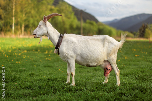 Side view - female domesticated goat on meadow with dandelions, hills in background, her mouth open Fototapete