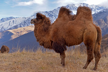 A Large Two-humped Camel Walks In The Snowy Mountains In Late Autumn.