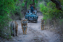 A Road Block By A Male Tiger A...