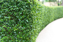 Perspective Of Green Curve Trimmed Fence.Evergreen Tree Wall Hedge.