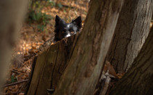 A Wonderful Border Collie Puppy Plays Happily Hidden Among The Trees Of The Forest And The Autumn Leaves