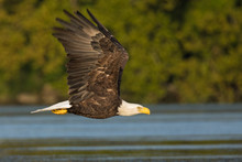 Adult Bald Eagle Flying Over W...