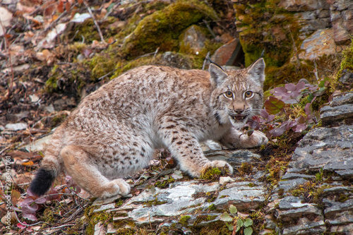 Photo  Siberian Lynx Kitten