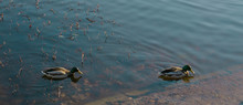 Two Ducks Swim In The Pond In Autumn Weather. Lake With A Drake.