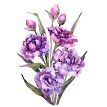 Purple Peony Bouquet On White Background. Watercolor Illustration Set. Isolated Bouquet Illustration Element.