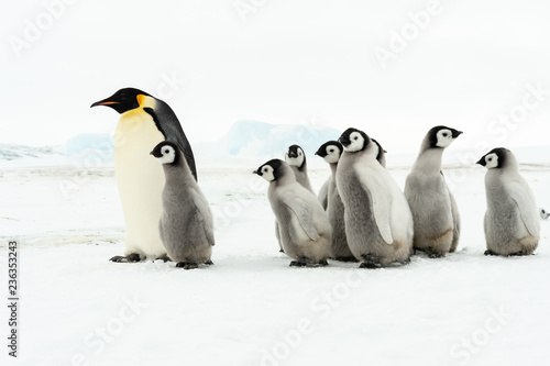 Spoed Fotobehang Pinguin Emperor Penguin with chicks