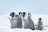 Fototapeta Zwierzęta - Emperor Penguins chiks