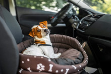 Jack Russell Terrier In Lounger Dog Bed. The Pet Enjoying A Car Ride