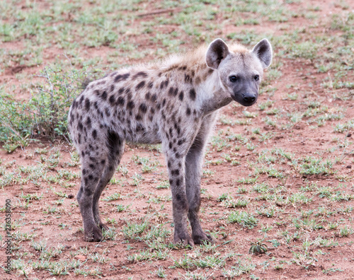 Foto op Aluminium Hyena Hyena spotted on wildlife