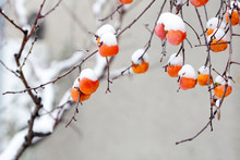 Persimmon Fruits Under The Snow.