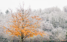 A Tree With Bright Yellow And Orange  Leaves Is Photographed In Front Of A Forest Of Trees With Barren White Icey Branches.