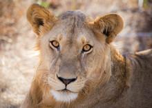 Portrait Of Lioness Sitting On...