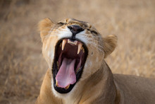 Lioness Roaring On Field At Se...