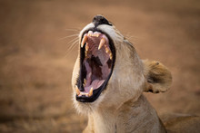 Close-up Of Lioness Roaring At...