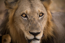 Close-up Portrait Of Lion At S...