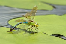 Emperor Dragonfly (Anax Imperator), Female, Laying Eggs On A Pond Rose Leaf In Water, Burgenland, Austria, Europe