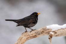 Blackbird (Turdus Merula) Sits On A Branch With Snow, Male, Tyrol, Austria, Europe