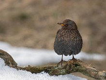 Blackbird (Turdus Merula) Sits Puffed Up On A Branch In Winter, Female, Tyrol, Austria, Europe