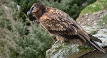 Bearded Vulture (Gypaetus Barb...