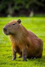 Capybara Sitting On Grass, Mato Grosso Do Sul, Brazil